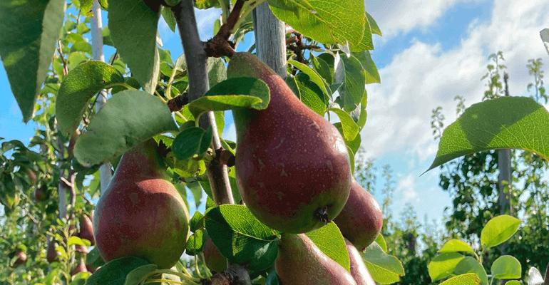 FrugtKurven - FirmaFrugt og Frugtordning på arbejdspladsen - FrugtKurve & FrugtKasser - Honey Belle Pærer